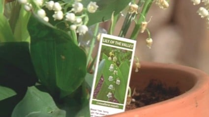 Breaking Bad lily of the valley