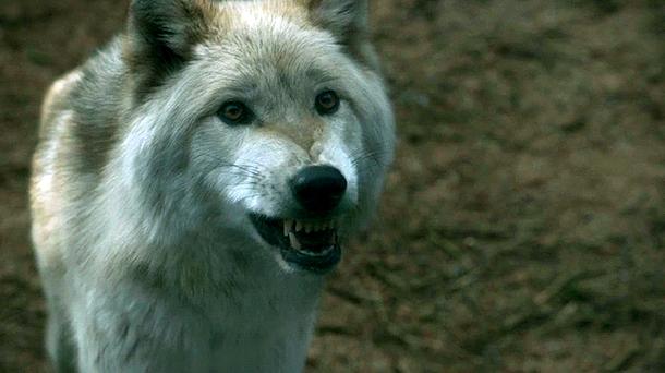 game-of-thrones-3.02-dark-wings-dark-words-wolf