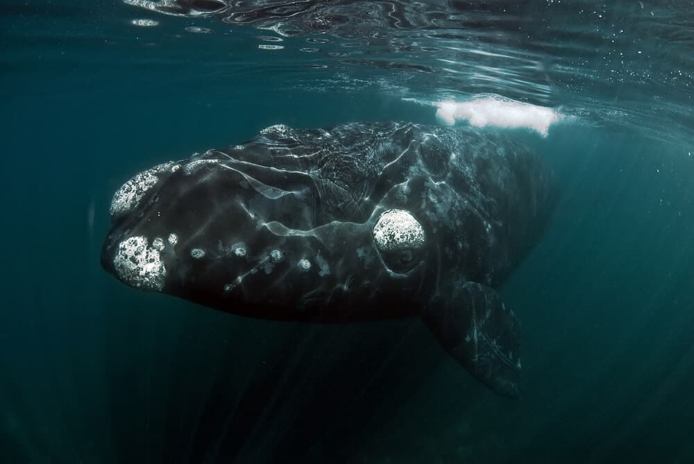 An enormous Right Whale.