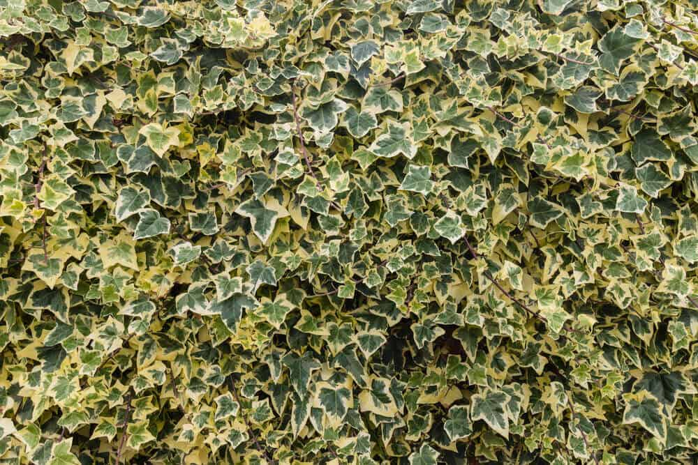 Hedera algeriensis also known as the Algerian Ivy.