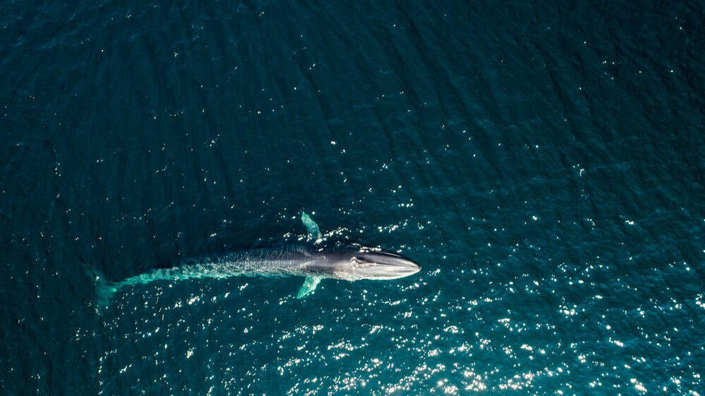 An aerial view of a Finback Whale.