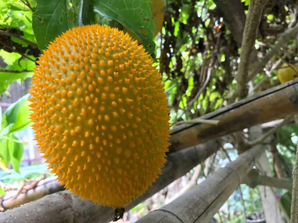 Gac melon