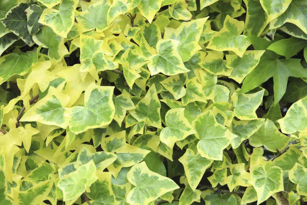 Goldchild Ivy, a type of English Ivy.