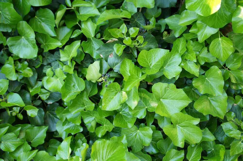 Irish Ivy leaves taken on an bird's eye view.