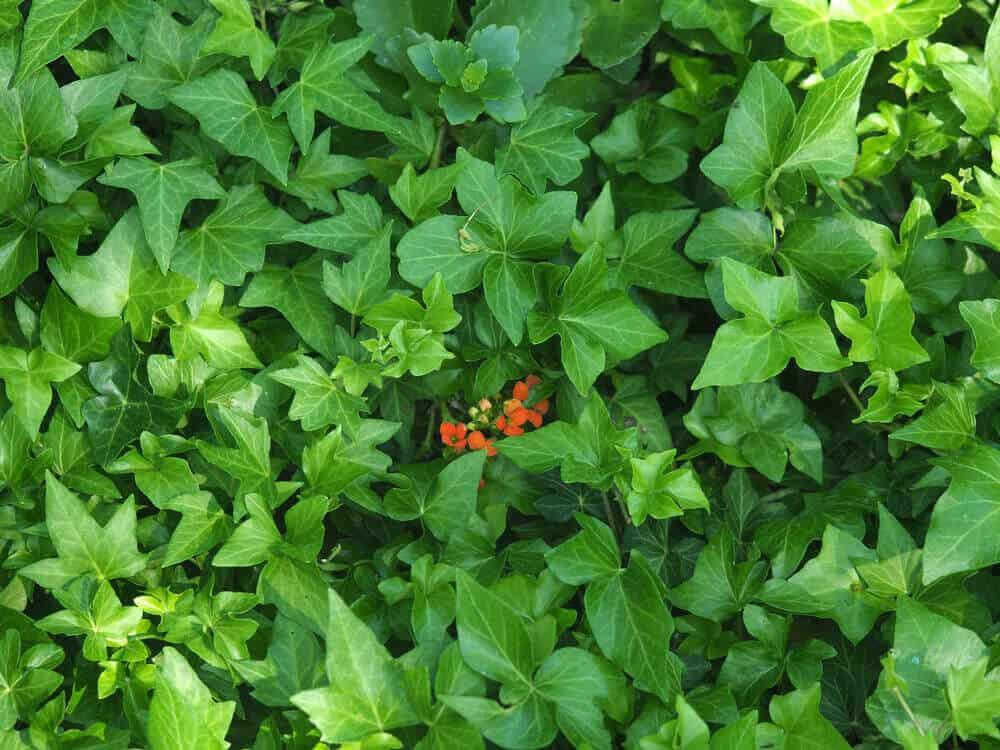 Peeking flower on Ivalace leaves.