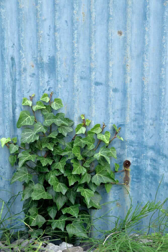 Japanese Ivy on a backyard.