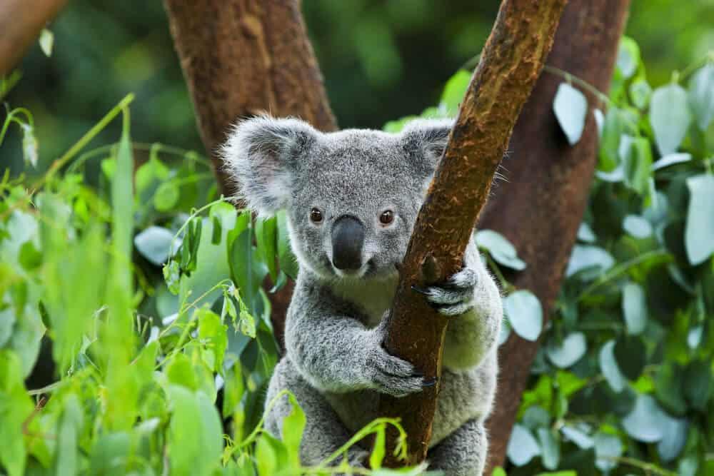 A koala bear clinging on the branch of a tree.