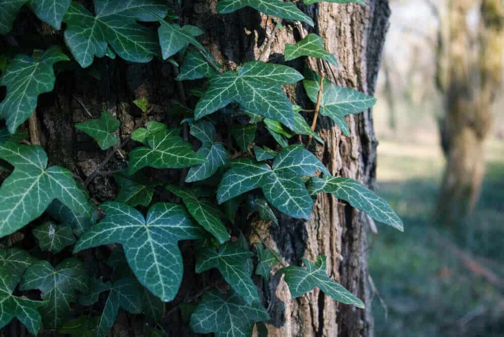 A Nepalese Ivy seen on a forest.