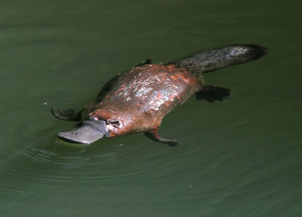 A Platypus swimming freely.