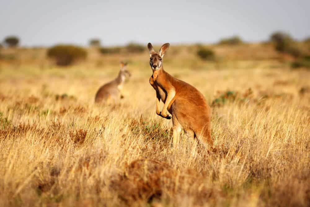 A red Kangaroo on the field.
