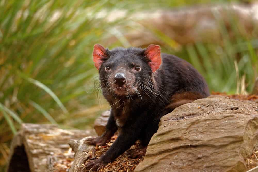 A young Tasmanian devil in motion.