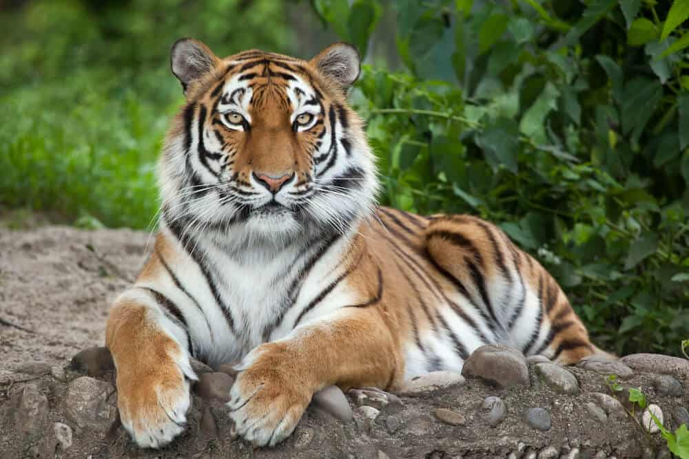 A tiger looking calm in the wild.