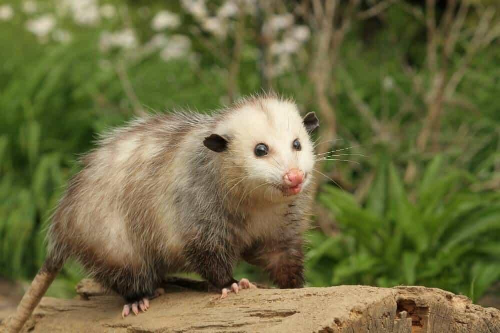 Virginia Opossum in the wild.