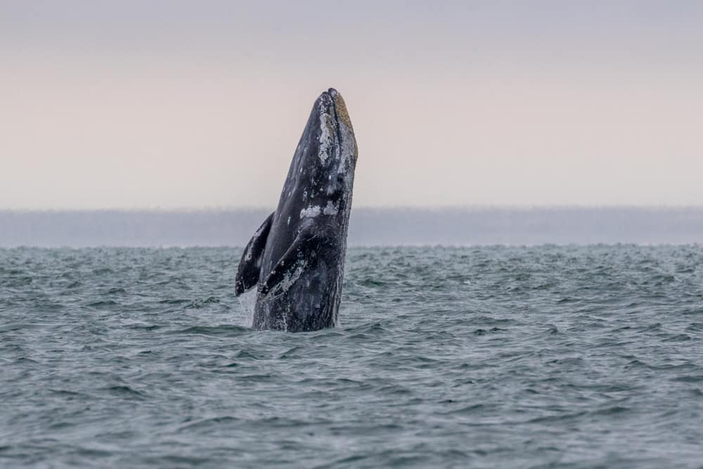 Grey whale emerges from the water.