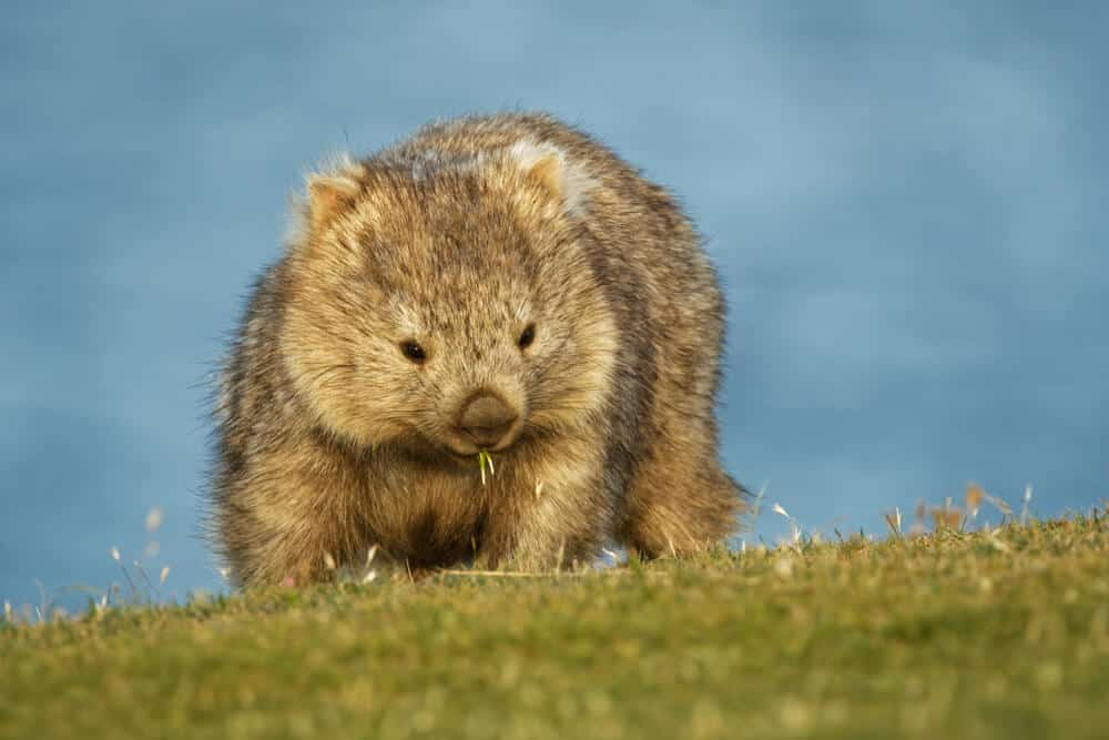 A wombat in the grass land.