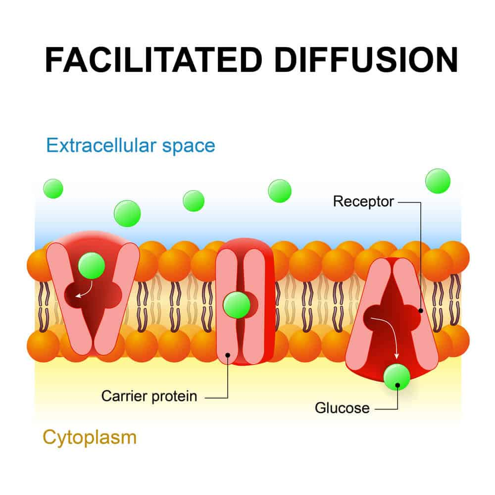 A visual presentation of facilitated diffusion.