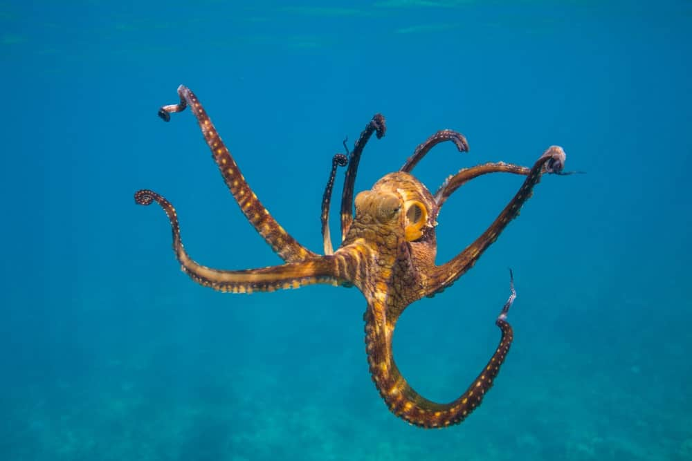 Dancing octopus in blue water.