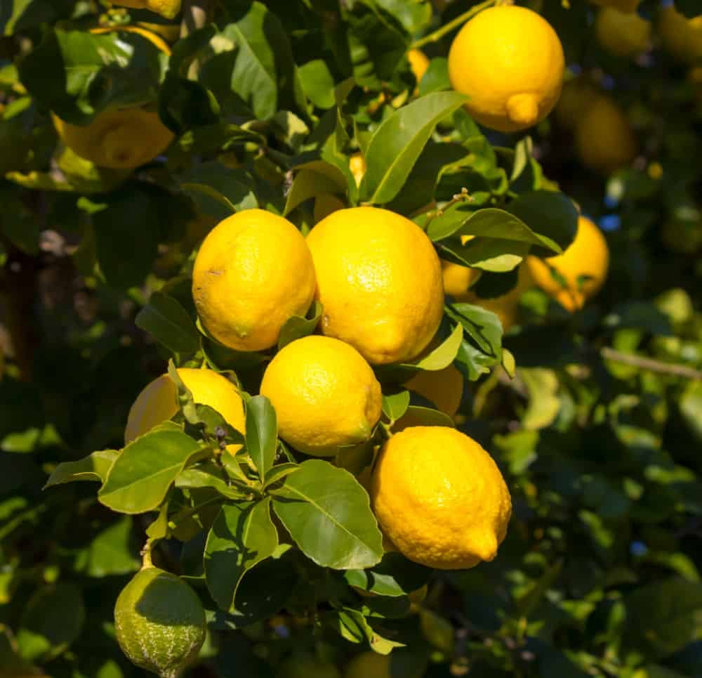 Eureka Lemons hanging from the tree.