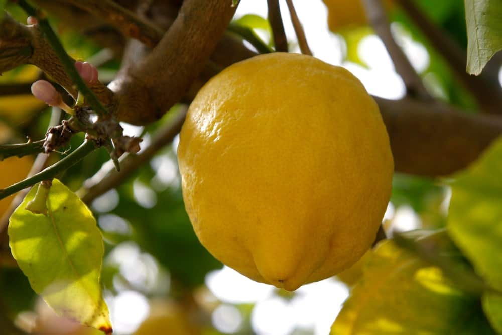 Greek Citron Lemon hanging from a tree.