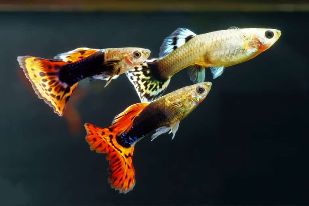 Multi-colored guppies