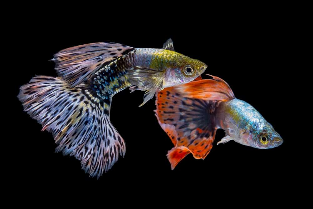 Two guppies isolated in black background.