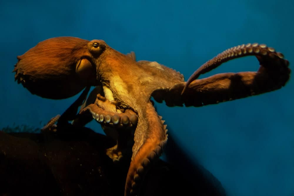 North Pacific Giant Octopus in blue water.