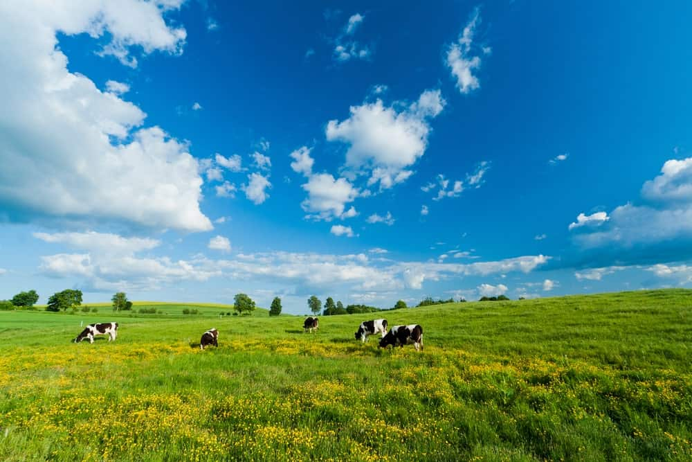 Cows on green fileds under a blue sky with clouds.