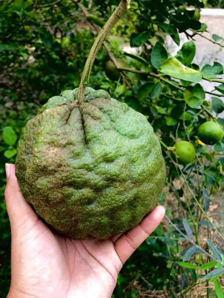 A hand holding a Ponderosa Lemon.