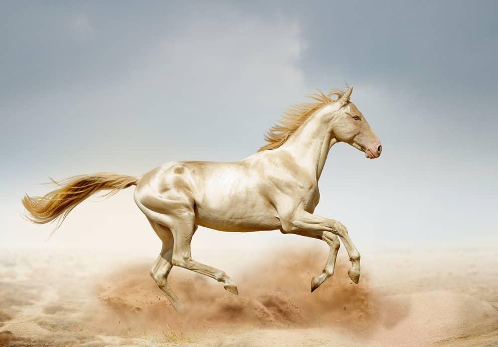 Akhal-Teke horse running in the desert.