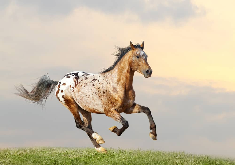 Appaloosa stallion running full tilt in the American West