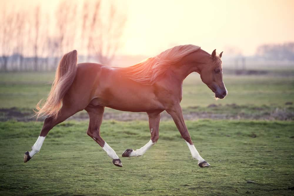 Arabian horse running in the field