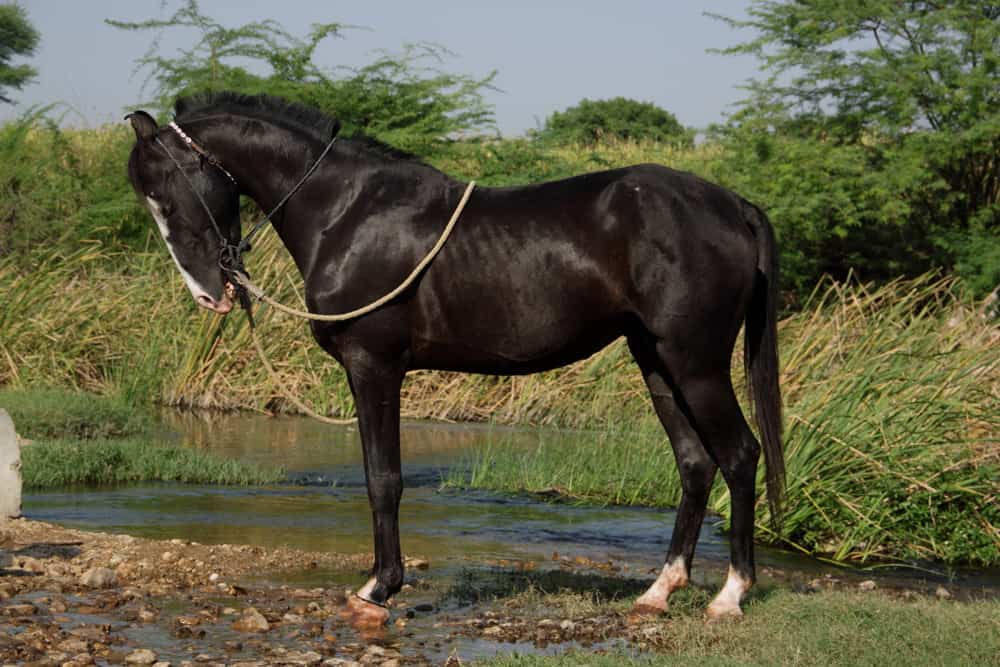 Black Marwari horse