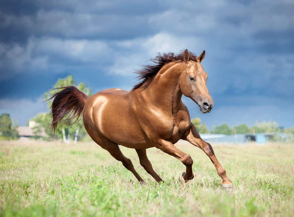 Chestnut brown don horse running