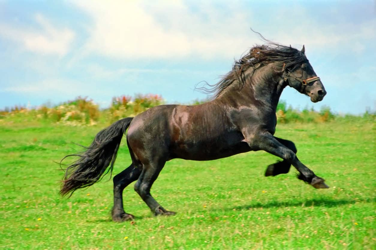 Black Friesian stallion galloping in a field