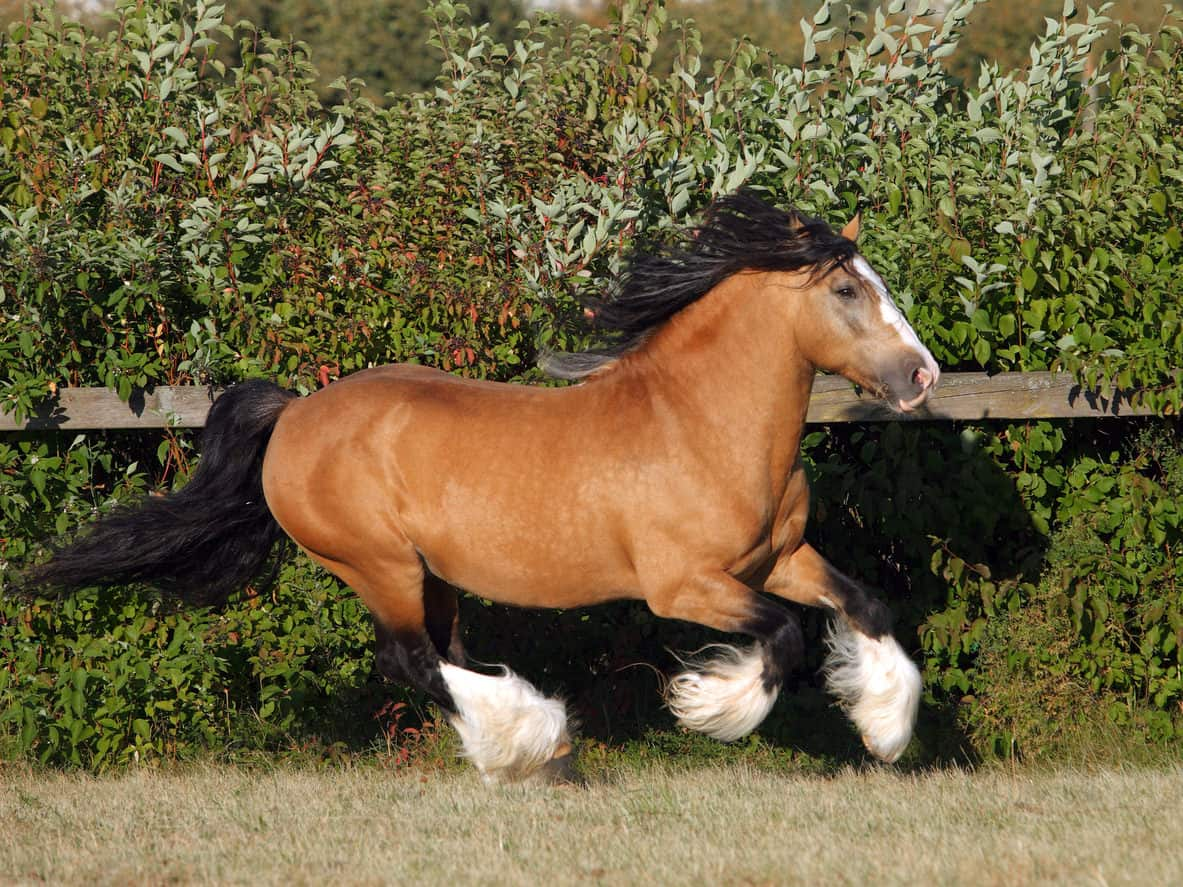 Gypsy Vanner stallion galloping in paddock