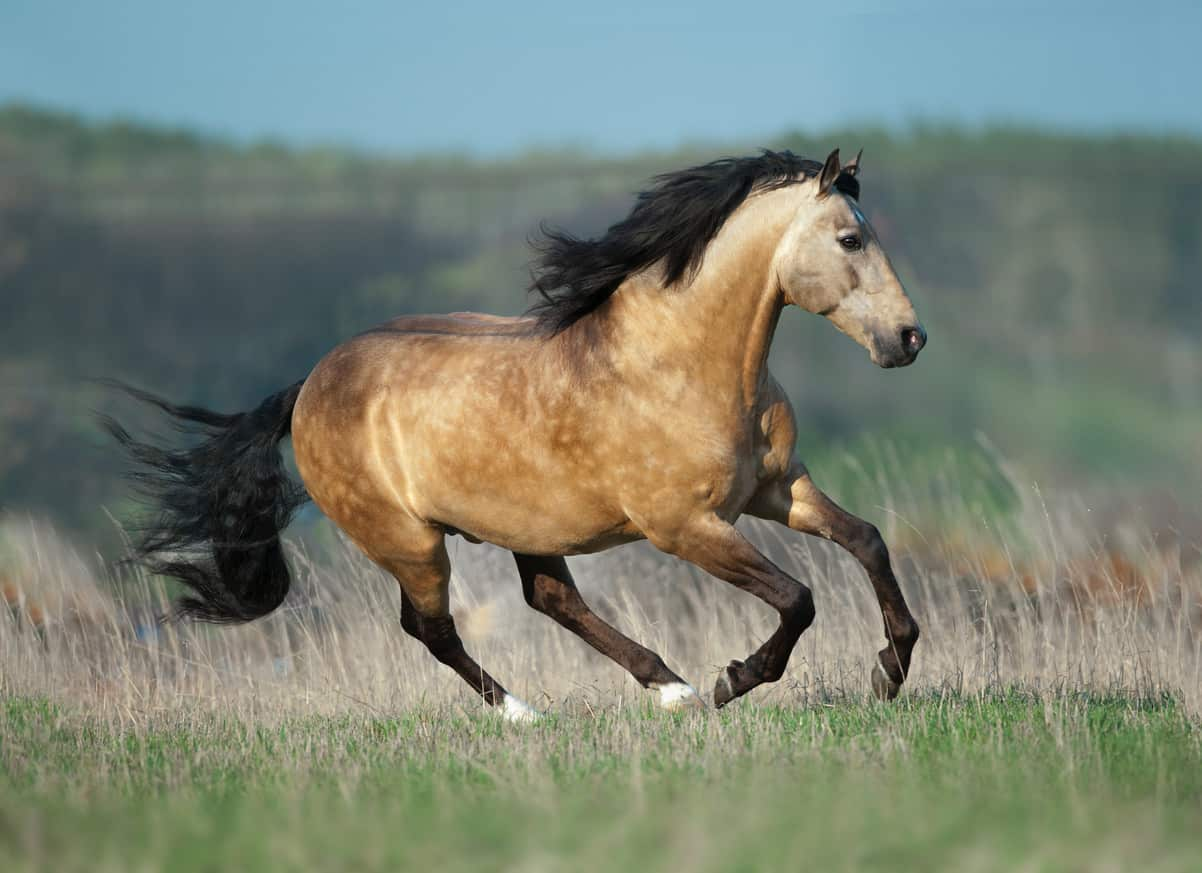 Lusitano horse running in the meadow.
