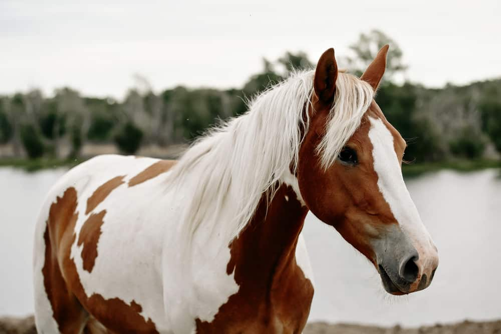 Pinto horse standing next to a river