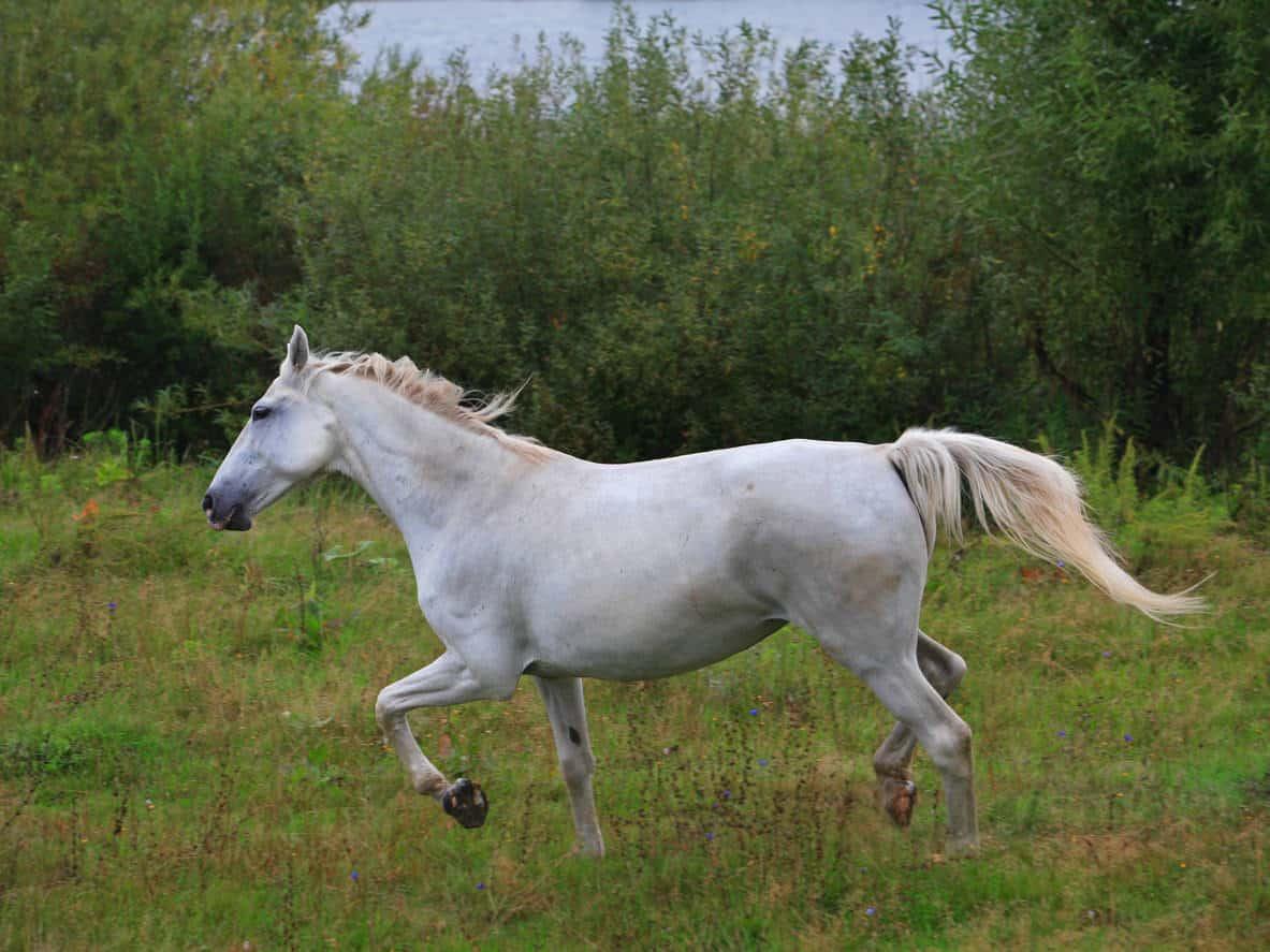 Pura Raza Espanola, Andalusian horse, galloping