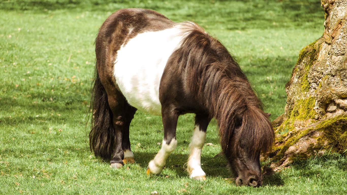 Shetland pony grazing in a field next to a tree.