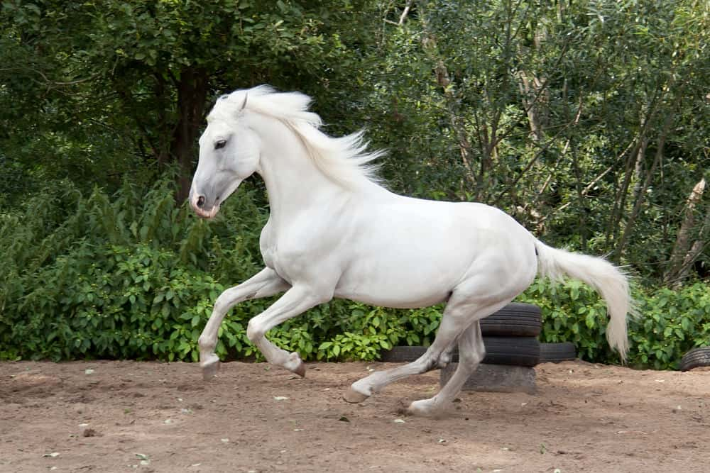 Trotter horse with long white flowing mane