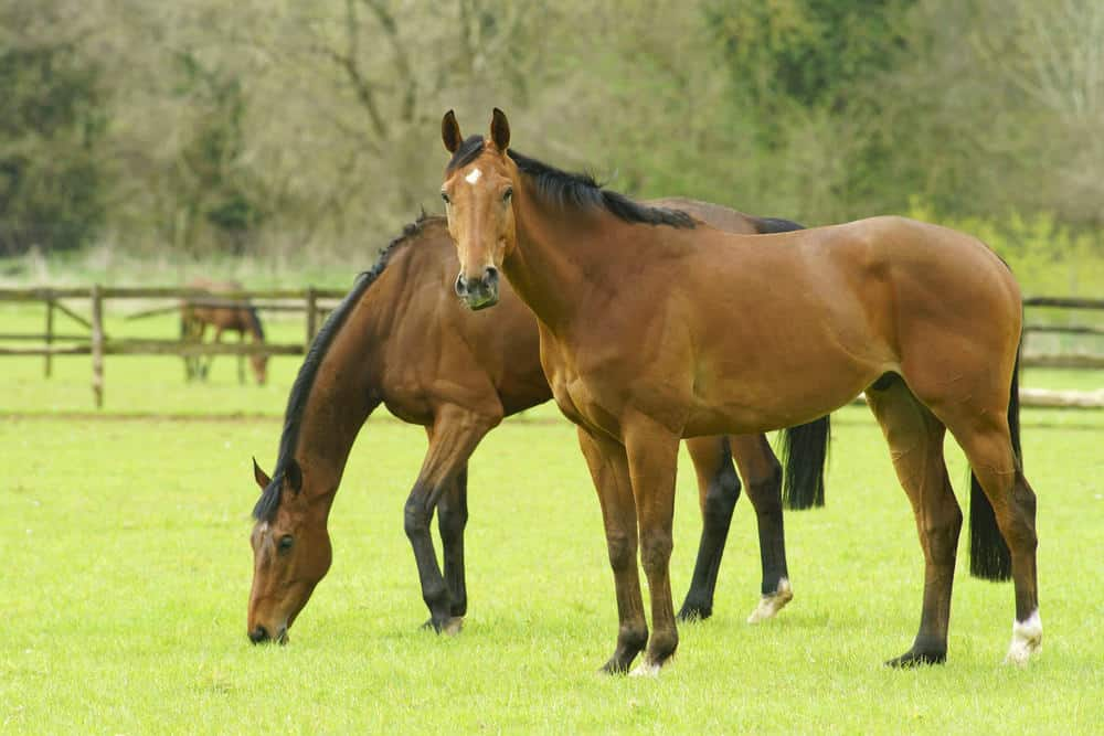 Thoroughbred horses grazing in a field