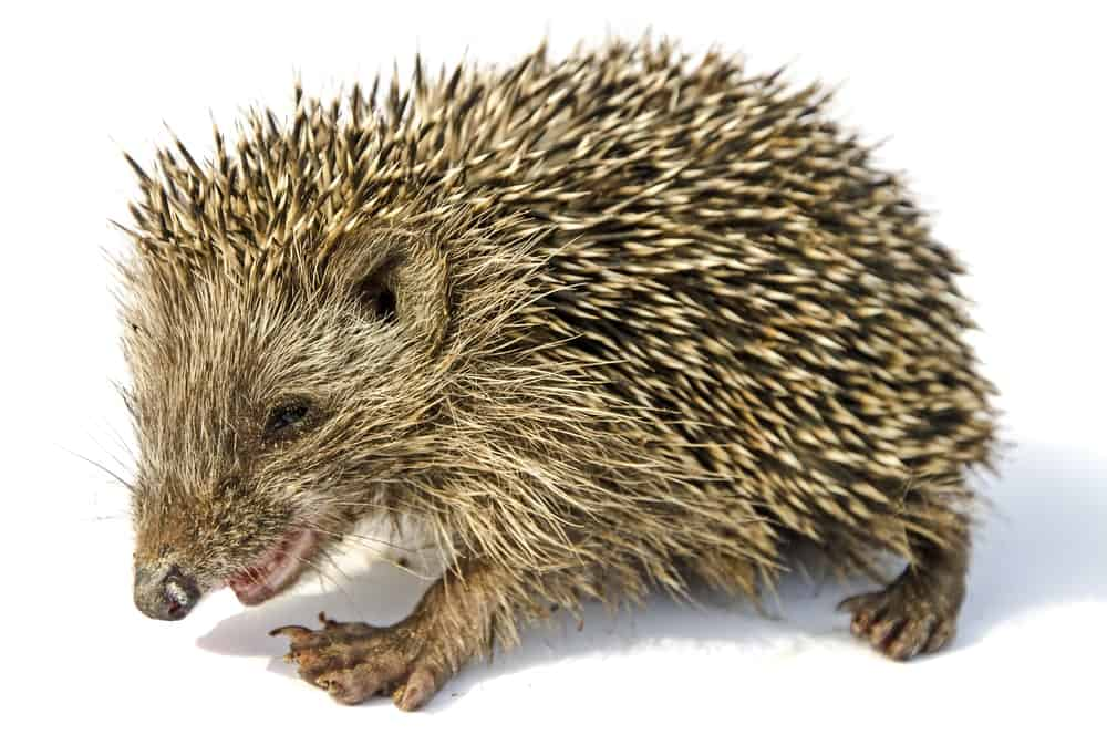 17 Different Types Of Hedgehogs Plus Fun Facts