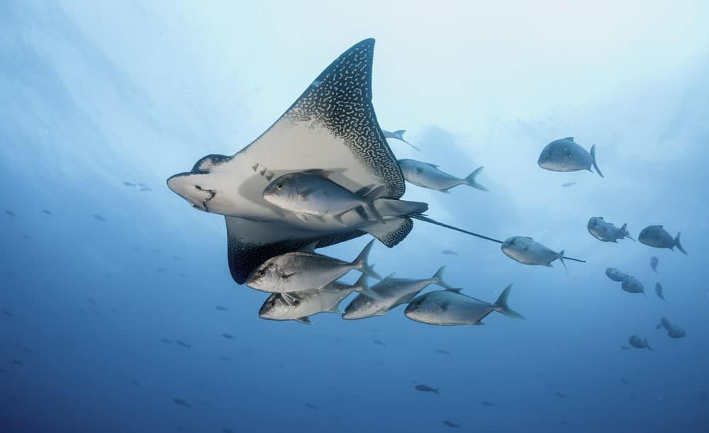 An eagle ray is swimming in the ocean together with a school of fish.