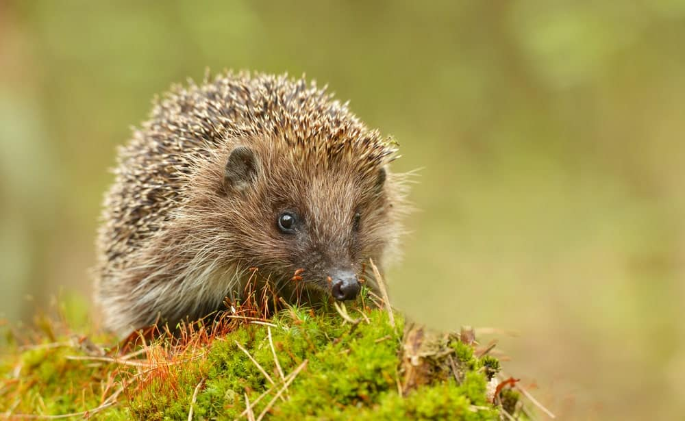 Hedgehog in the wild