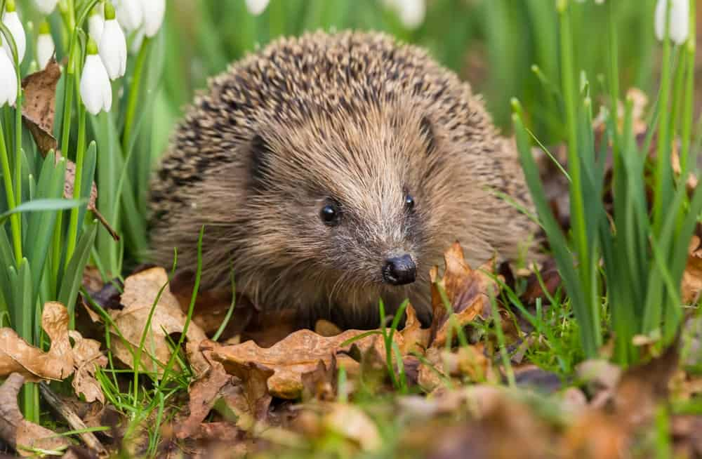 Wild hedgehog