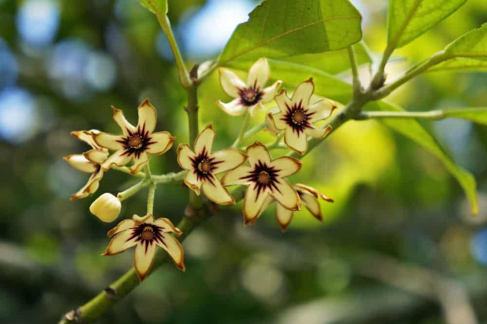 Kola tree flowers