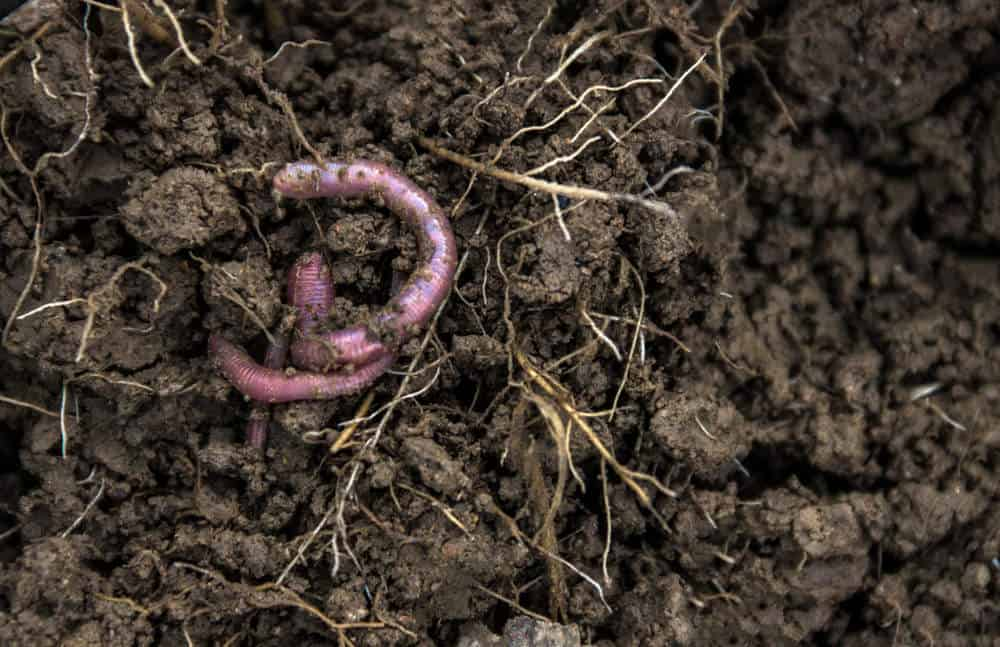 Root worms in soil