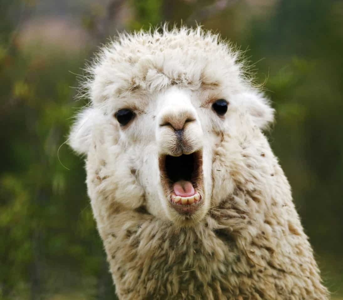 Alpaca mouth open wide.