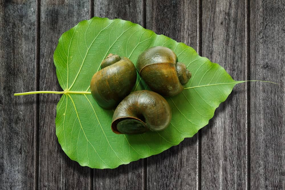 Three apple snails on a heart-shaped leaf on wooden background.