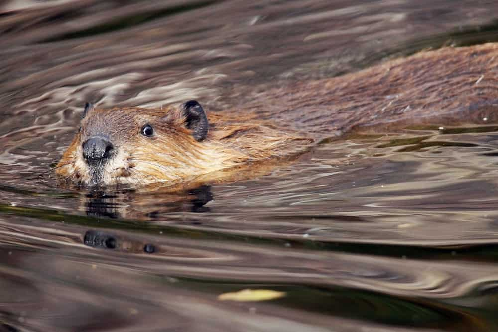 Beaver swimming in a lake.
